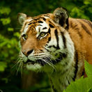 tiger indický