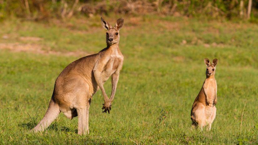 kengura, Austrália