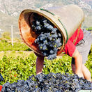 languedoc, vinič, vinohrad