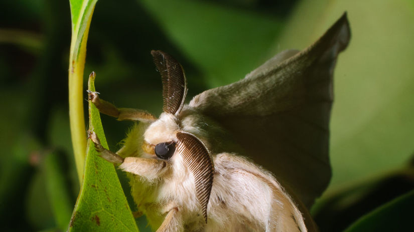 motýľ, hodváb, listy, larva