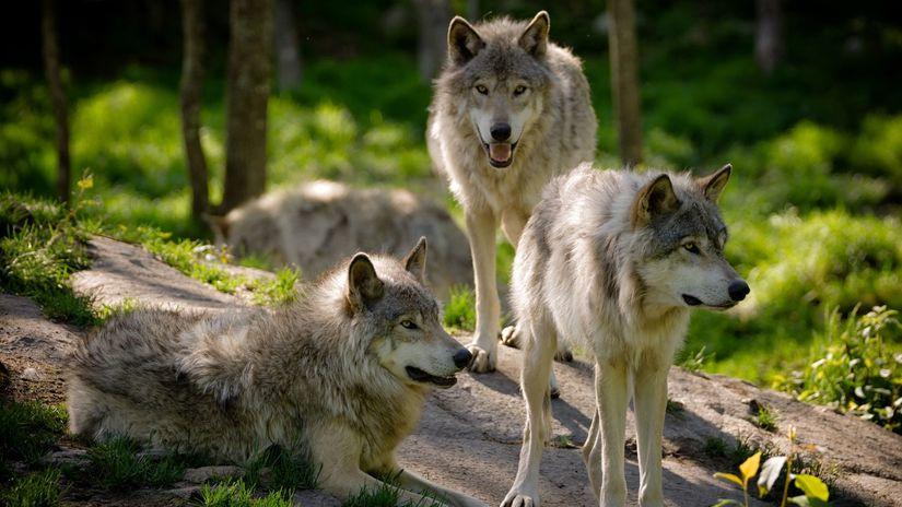 vlk, vlky, zvieratá, les, predátor