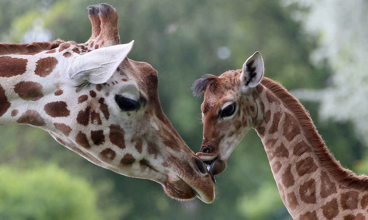 ZOO Berlín, žirafa