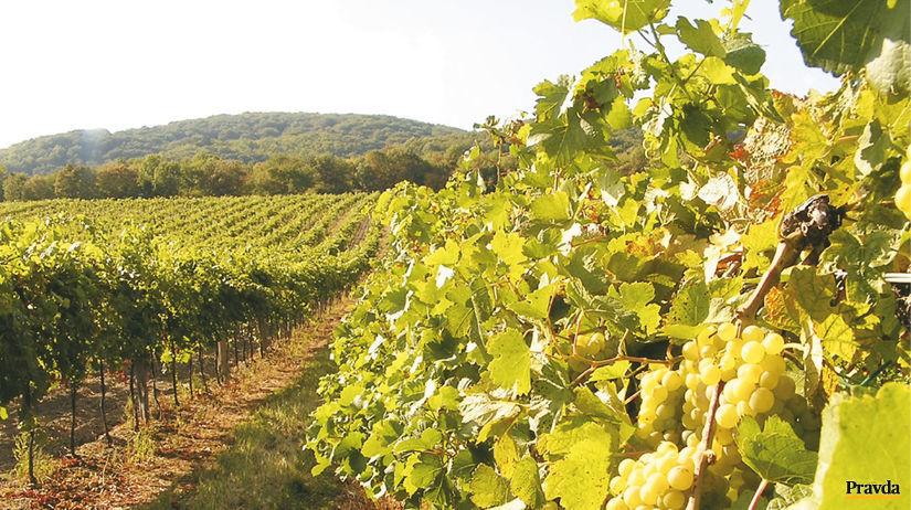 rizling, vinič, vinohrad