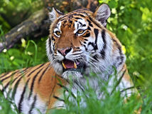 Autentický záber: v Žiline tiger uhryzol ženu