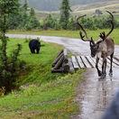 Quebec, Kanada, los, medveď, sob