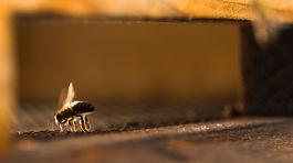 Tomáš Blaškovič, včely, včela, med, agát