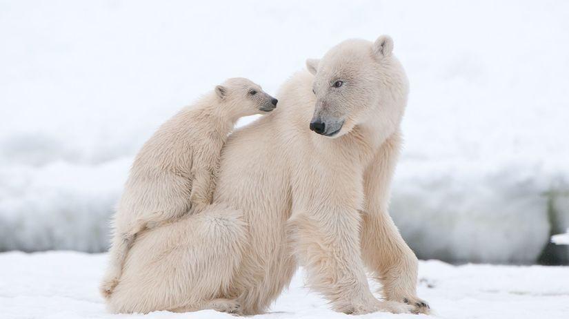 ľadové medvede. ľadový medveď