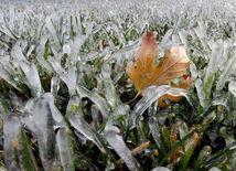 javorový list, tráva, mráz, ľad