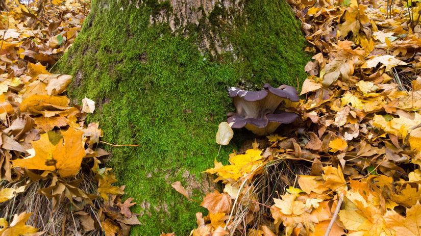 huby na strome, jeseň, pestovanie hb