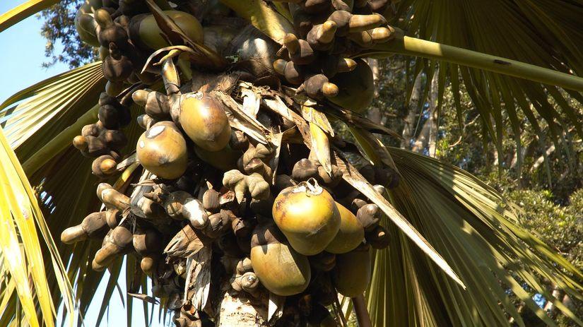 morské kokosy, kokos, palma
