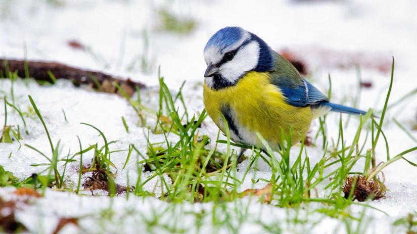 zima, sneh, sýkorka, vták, Nemecko, príroda
