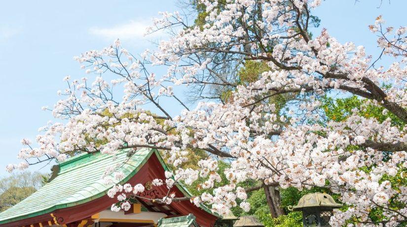 Čerešňové kvety, sakura, festival čerešňových...