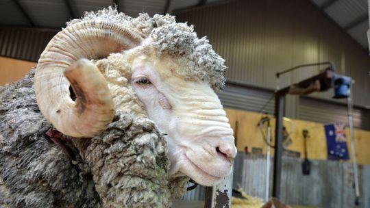 Nová senegalská obsesia: Luxusné ovce, kvôli ktorým sa ľudia dostávajú na dno