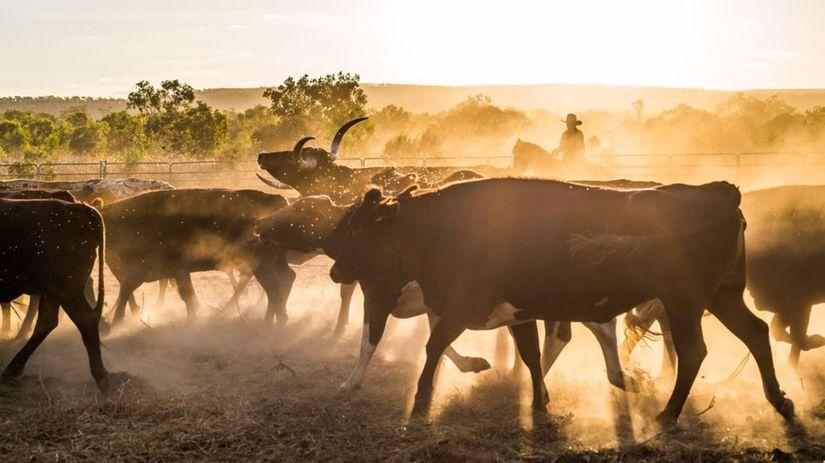 dobytok, kravy, pasieri, cowboy, chovanie, chov...