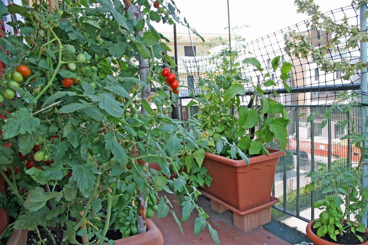 """Огород на балконе. выращиваем помидоры """" itissite.com."""