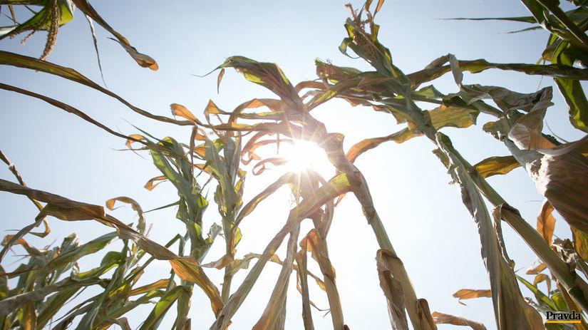 sucho, úroda, kukurica