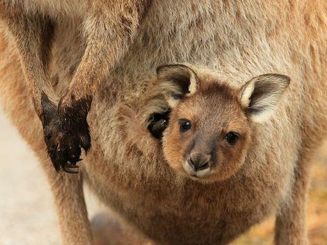a5f33c1cddec5 Austráliu zaplavili milióny klokanov. Ekológovia nabádajú, aby ich ľudia vo  veľkom jedli