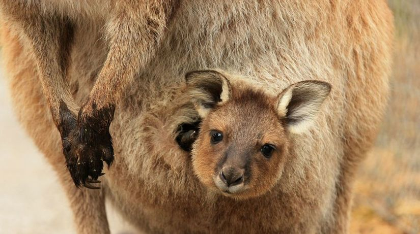 kengura, klokan, mláďa, vak, vrecko, austrália