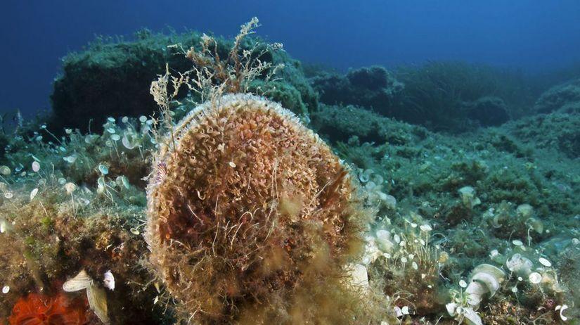 Pinna nobilis, morské krídlo, kyjovka, mušľa,...