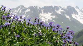 Švajčiarsko, kvety, hory,
