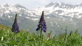 Švajčiarsko, kvety, hory