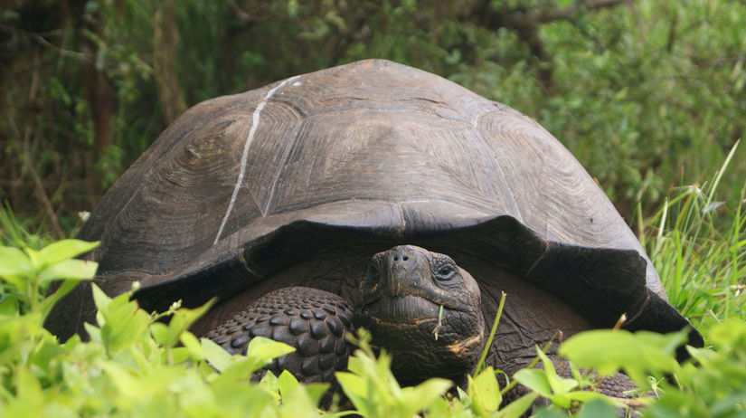Galapágy, korytnačka