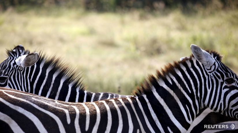 zebr, zebra, Keňa, Lake Nakuru National Park,...
