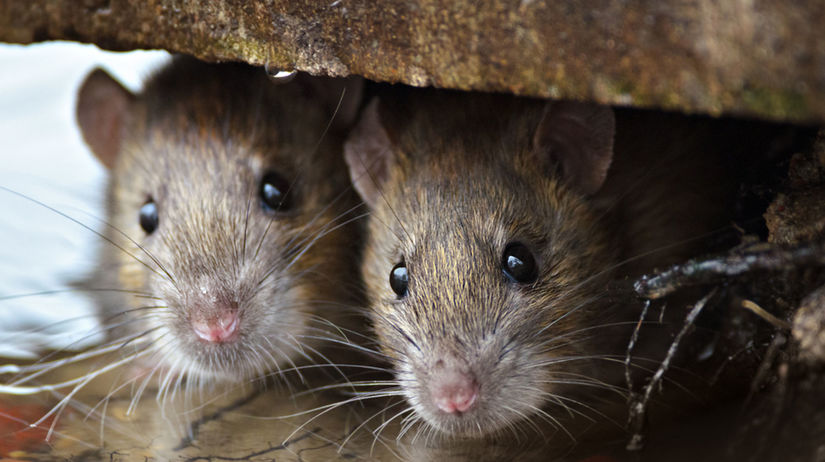 potkan, krysa, potkany, krysy, myši, hlodavce,...