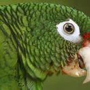 Invazívny zelený papagáj terorizuje Európu