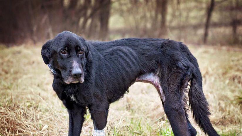 týraný pes, sučka Viky