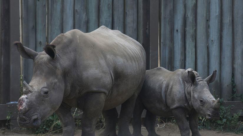 Nosorožce, nosorožec, rohy, Afrika, JAR, ranč
