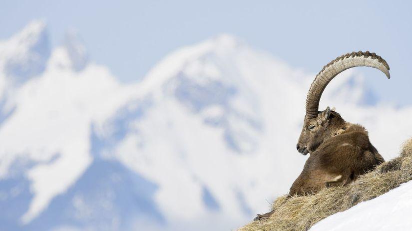 kozorožec, hory, sneh, vysokohorský,...
