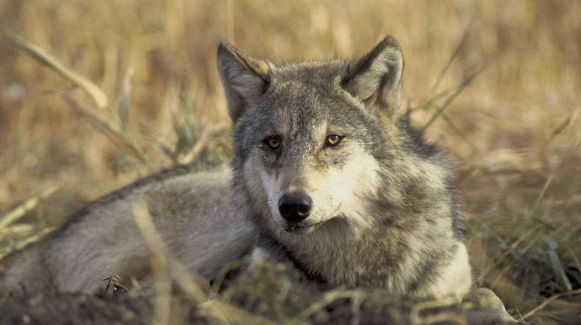 vlk sivý
