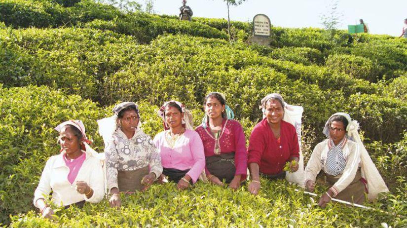 Srí Lanka, čaj, zberačky, Lipton