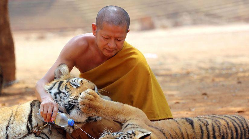 tigre, budhistický chrám, Thajsko, tiger,...