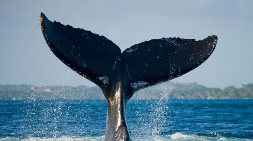 veľryba, chvost, more, oceán, ryba, plávanie,...