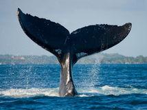 veľryba, chvost, more, oceán, ryba, plávanie, dovolenka,