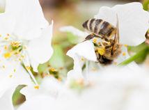 včela, včelár, čerešňa, kvet, opeľovanie,