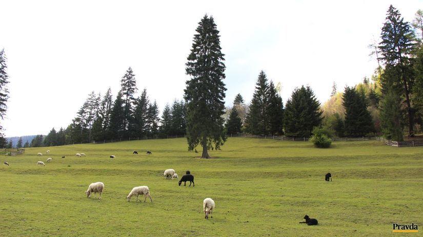ovce, lúka, paša, pasenie, Liptov