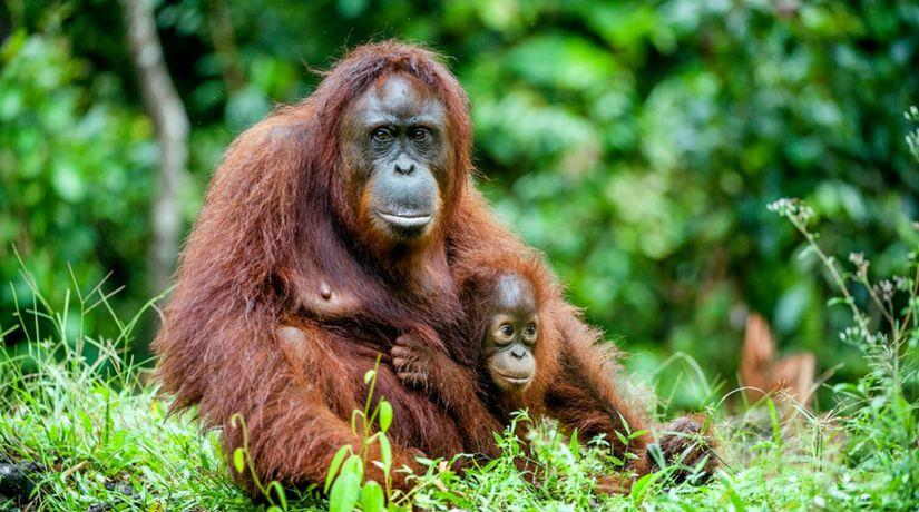 orangután, samica, mláda