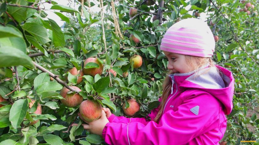 jablkove hodovanie, jablko, dobre jablka, sad,...