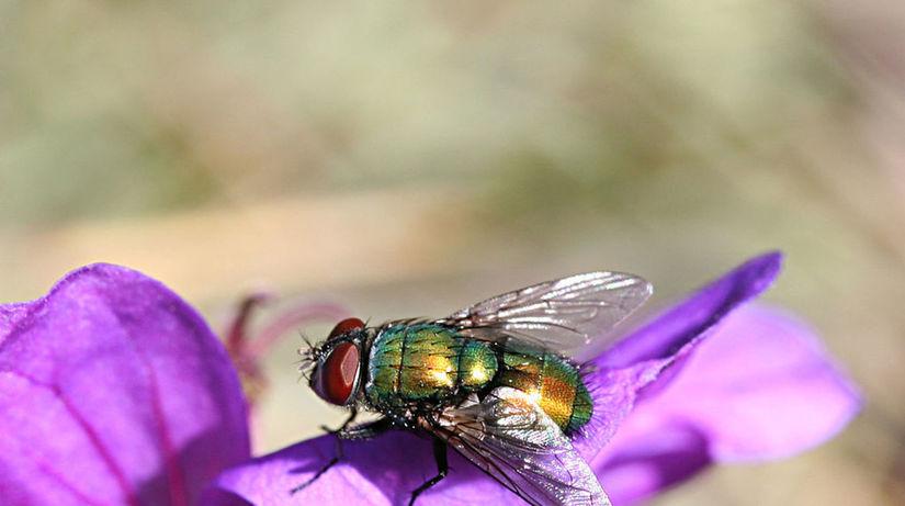Bzučivka zelená, hmyz, liečba,