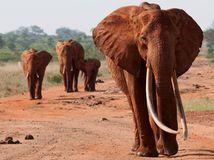 slony, Afrika, India, kly