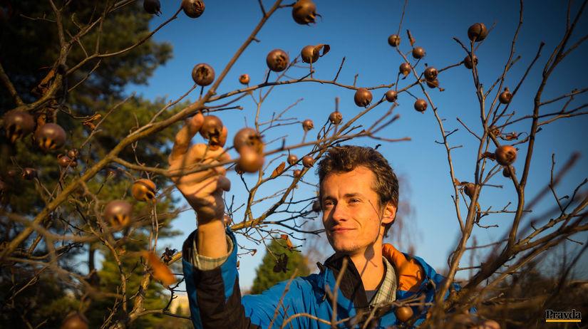 Ján Veselý, mišpule, muž, strom, zber, ovocie