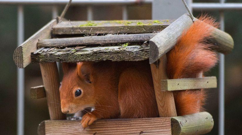 veverička, veverica, hlodavec, kŕmenie, kŕmidlo