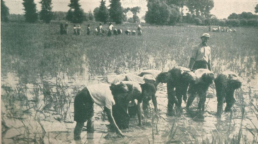 ryža, pestovanie ryže na Slovensku, ryžové polia