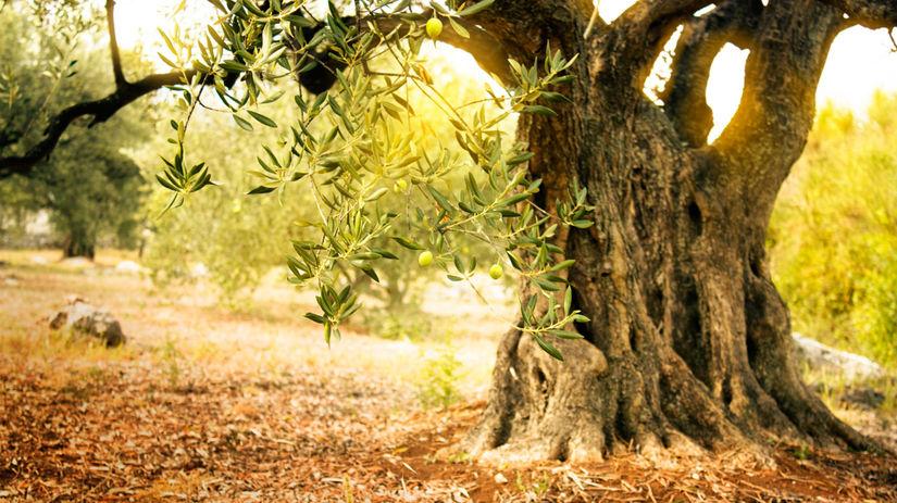 strom, olivovník