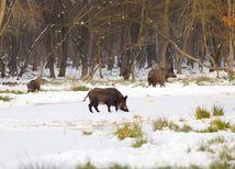 diviak, šumava, rádioaktivita, zima, sneh, les