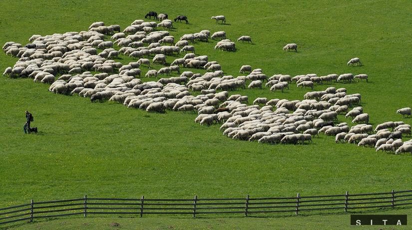 AGRO: Bačova cesta, ovce