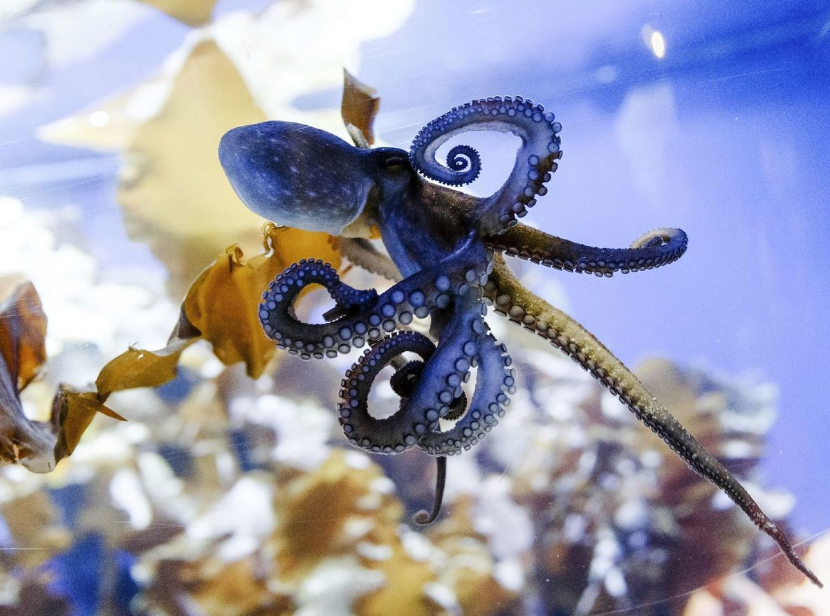 chobotnica, akvárium